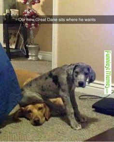 Funniest Memes - [Our New Great Dane.] Check more at http://www.funniestmemes.com/funniest-memes-our-new-great-dane/