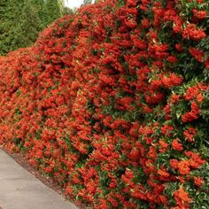 SCARLET-FIRETHORN-Pyracantha-Coccinea-50-SEEDS