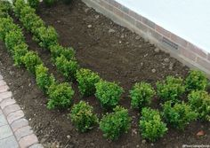 Front garden box hedge design  #PlewsGD #PlewsGardenDesign