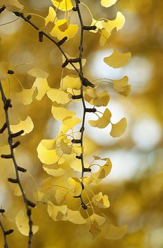 gingko - luv the shape of these leaves...cute little fans... :)
