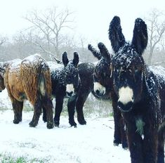 From all of us at Texas Poitou Donkeys....Merry Christmas & Happy New Year! ❤️❤️
