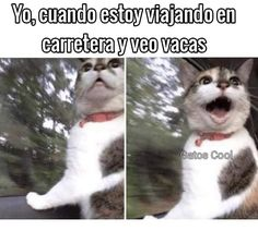 "96 Me gusta, 0 comentarios - Gatos Cool (@gatoscooloficial) en Instagram: "". . . #memesdegatoscool #gatoscool😸 #gatos_cool #vacas #viajes #viaje #viajeencarretera #wow…"""