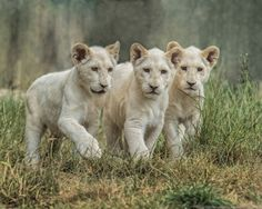 """""""Three Little Cubs"""", Three of the four white lion cubs from WHF... they have a very protective mother, but once she was happy for us to be there, the cubs came out to play. by Sue Demetriou on 500px"""