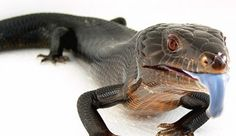 Hypermelanistic Blue Tongue Skink