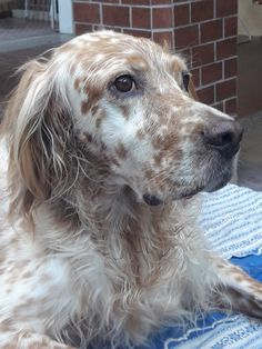 English Setters, Brittany, Dachshund, Puppy Love, Dog Cat, Puppies, Animal, Cats, English People
