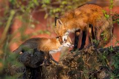 two foxes in sunlight