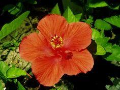 Hibiscus rosa Sinensis peach Hibiscus. My favorite color hibiscus.