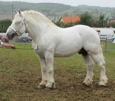 Boulonnais. Ya that's an awesome horse breed.