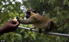 Nevis monkey massacre: Critters ravaging island paradise could be ...