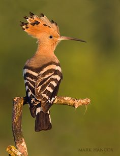 Hoopoe: I really want to paint one of these. They're Israel's national bird, so maybe with their national flower too? Would be fun to adapt into a Hetalia print too. (Gotta look up Israel...)