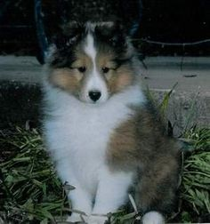 I love Sheltie puppies!!!
