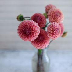 Bracken Rose Dahlia via Floret Flower Farm Types Of Flowers, Cut Flowers, Vase Transparent, Bulbs And Seeds, Vases, Flower Farm, Garden Inspiration, Color Inspiration, Garden Plants