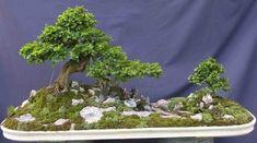 los-mejores-arboles-para-bonsais-10