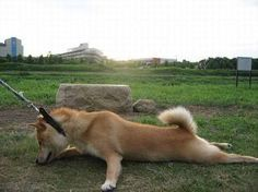 I'm not leaving the park, you cant make me go back in the house Shibas definitely decide when and what they will do. Cute Puppies, Cute Dogs, Dogs And Puppies, Animals And Pets, Funny Animals, Cute Animals, Shiba Inu Doge, Hachiko, Japanese Dogs