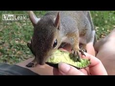 squirrel love avocado
