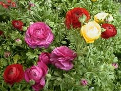 A Ranunculus in Bloom - Garden Helper, Gardening Questions and Answers