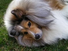 sheltie | sheltie dog photo Width: 1600 Height: 1200 photography , photo print