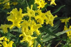 Fringed Puccoon  #FringedPuccoon #TexasWildflowers #Wildflowers #YellowFlowers #Paws4Critters
