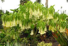 Brugmansia Hybrid, Angels' trumpets, Brugmansia Alba