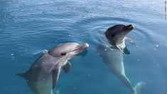 バンドウイルカ - アイルランドには人を襲うイルカが出没しているという