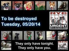 TO BE DESTROYED - 05/20/14 PITTIES ARE IN DANGER AGAIN. ALL THESE DOGS COUNT ON US!!! LET'S NOT LET THEM DOWN!!! PLEASE OPEN YOUR HEARTS AND PLEDGE, TAKE THEM HOME, BUT BE QUICK AS TIME IS TICKING AWAY. THE LIST IS VERY LONG AGAIN AND WE WE HAVE SOLITTLE TIME SO BE QUICK WHEN MAKING UP YOUR UP.  https://www.facebook.com/media/set/?set=a.611290788883804.1073741851.152876678058553&type=3