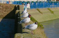 What are you looking at?! #seagulls at #Arundel #RiverArun https://uk.pinterest.com/annbri