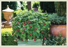 New for 2013! Thornless Raspberry Bush, suitable for container gardening, from The BrazelBerries® Collection.