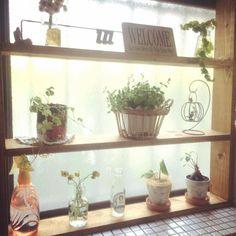 2016.05.25 . . キッチンの窓辺の植物たち . 日当たり時間が短いのでのんびり成長ちゅー(ㅂ) . . #キッチン #窓辺 #コチレドンペンデンス #観葉植物 #花かんざし #DIY #シュガーバイン by haru.str