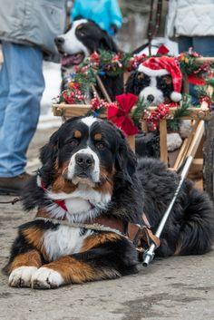 Bernese Mountain Dog seen in Breckenridge Colorado at the Christmas parade.
