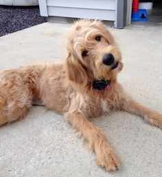 #goldendoodle #dogs #cute Goldendoodle Full Grown, Golden Doodles, Doodle Dog, Paws And Claws, Poodle Mix, Therapy Dogs, Labradoodle, Poodles, Mans Best Friend