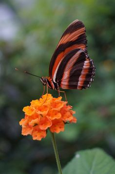 Striped butterfly by Marion Hartmann on 500px