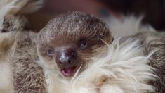 Baby Sloth Edward Will Melt Your Heart!