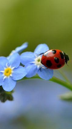 ladybug, flower, macro, insect