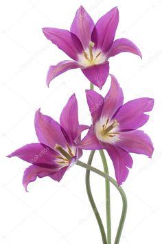 depositphotos_18544563-stock-photo-tulip-flowers.jpg (682×1023)