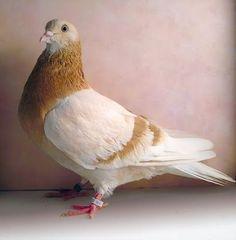 Birmingham Roller P Pigeon Pictures, Bird Pictures, Love Birds, Beautiful Birds, Tumbler Pigeons, Racing Pigeon Lofts, Pigeon Breeds, Dove Pigeon, Racing Pigeons