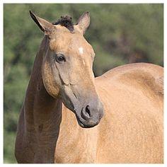 American Bashkir Curly Horse Stag Creek Constance B