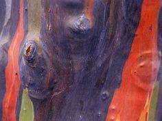 Eucalyptus Bark - Tree bark patterns in nature Tree Patterns, Patterns In Nature, Beautiful Patterns, Color Patterns, Rainbow Eucalyptus Tree, Photo Texture, Tree Wallpaper, Wallpaper Gallery, Tree Trunks