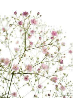 Schleierkraut-My-Pink-1.jpg 1.500×2.000 Pixel