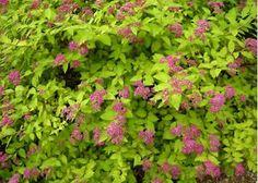 Image result for magic carpet spirea bush