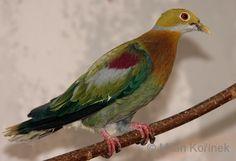 Ptilinopus ornatus - Cerca con Google