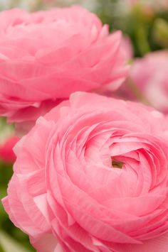 big pink blooms