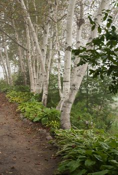 Birch trees, path, hosta perennials, shade garden, by Judy White / GardenPhotos.com