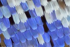 The brighter colours on some butterflies are created thanks to the scattering of light by the scales, such as these jagged examples, which are Papilio ulysees butterfly scales.In fact, each scale has multiple layers which are separated by air, so when light hits them it's reflected many times and the combination of these reflections causes us to see the intense yellows and blues of many butterfly species