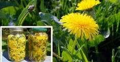 How to make healing dandelion tonic, cures a number of illnesses. Dandelion is one of the oldest known medicinal plants, with a history of curing everything from fighting inflammation to even killing cancer cells.  Dandelion is one of the most versatile natural plants in terms of harvesting for treatments, as every single part of …