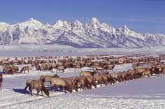 Turpin Meadow Ranch visitors enjoy the National Elk Refuge in Jackson Hole