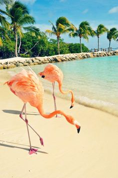 Flamingos on the beach in Aruba.