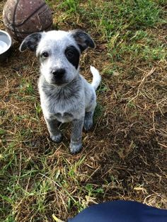 Skeeter is a sweet #AustralianCattleDog #puppy that can't wait to find his new best friend in life. This handsome guy is looking for a place to finally call his own and a companion to spend lots of time with. http://www.doggielife.com/skeeter/dogs/AL3WM0