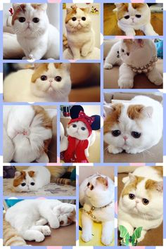 Snoopy the cat!!! (Miss Snoopy is an exotic shorthair and is one of the most popular cats in the world!)