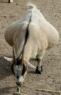 complications that can occur with pregnant goats, especially fat goats. Keep an eye on these does for pregancy toxaemia #goatvet