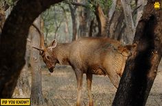 The Stunning Sambar!  Did You Know - The male Sambar has 40 inches long antlers that are divided in three branches and they shed their antlers each year.